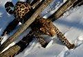 Дальневосточный леопард в Приморском сафари-парке