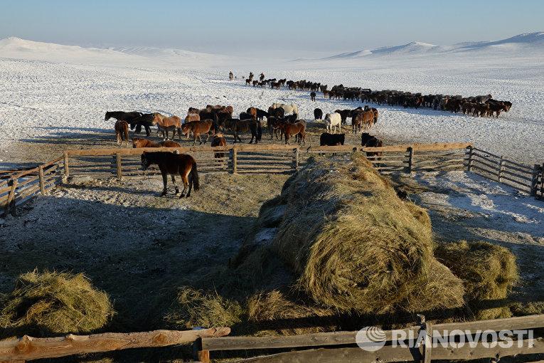Чабаны загоняют табун лошадей к зимней стоянке в местечке Чумур-Ой Тес-Хемского кожууна Республики Тыва
