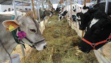 Загон с коровами. Архивное фото
