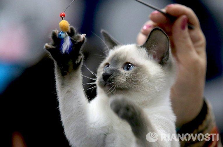 Котенок на выставке кошек и котов День влюбленных котов в КВЦ Сокольники