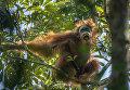 Трудные времена для орангутанов. 17 марта 2014. Тим Ламан