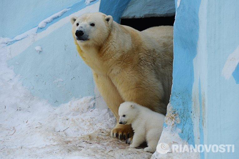 Белый медвежонок со своей мамой Гердой в вольере Новосибирского зоопарка