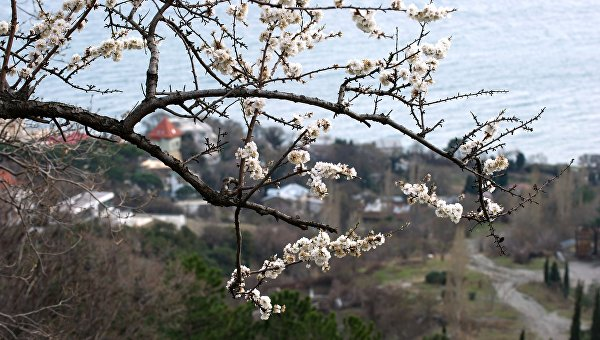 Цветущее дерево в окрестностях Алупки. Архивное фото