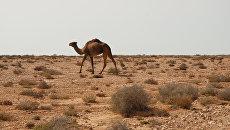 Верблюд в Западной Сахаре. Архивное фото
