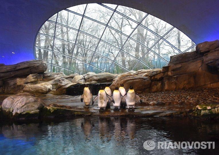 Королевские пингвины в вольере Зоологического сада Берлина