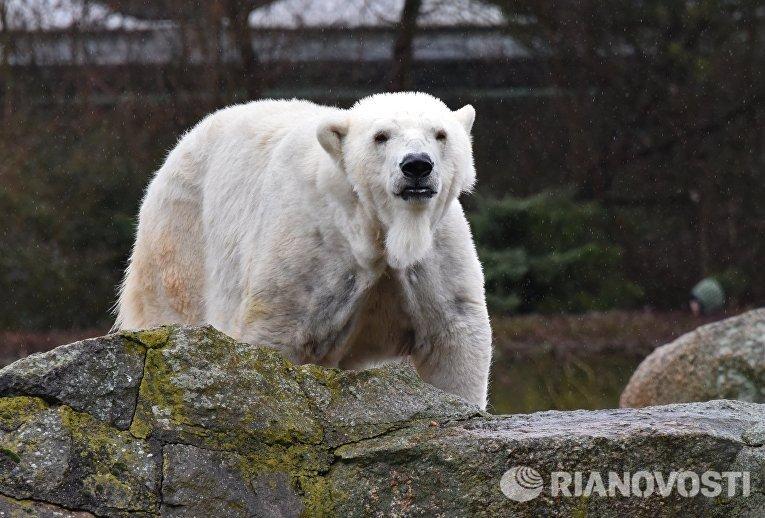Полярный медведь в Зоологическом саду Берлина