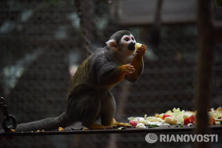 Саймири или Беличьи обезьяны в Зоологическом саду Берлина