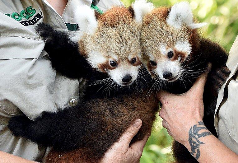 Красные панды в зоопарке Мельбурна