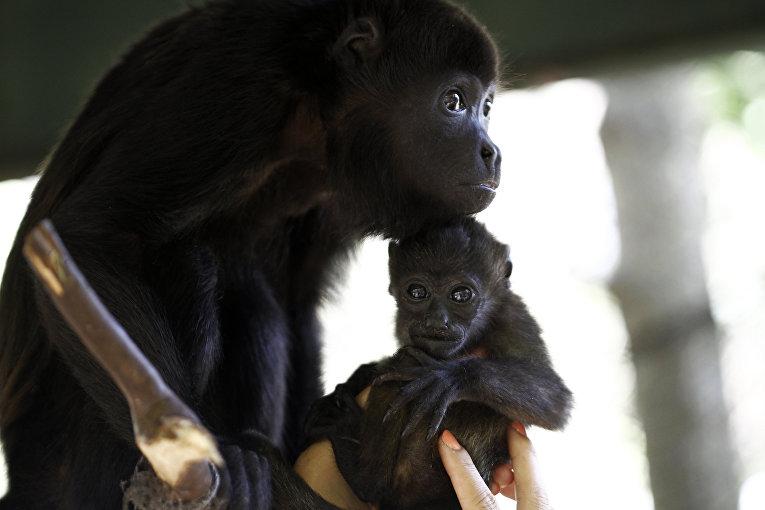 Спасенный детеныш обезьян ревунов с приемной мамой в центре спасения животных
