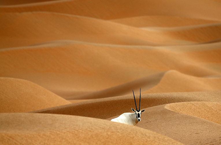 Орикс в пустыне