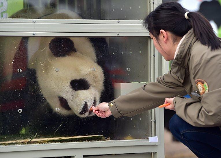 Гигантские панды в грузовом терминале Международного аэропорта Инчхон