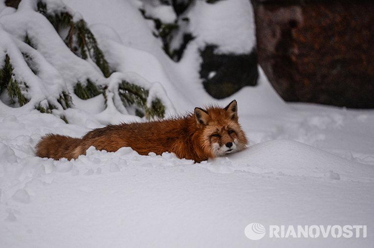 Лисица в московском зоопарке после сильного снегопада