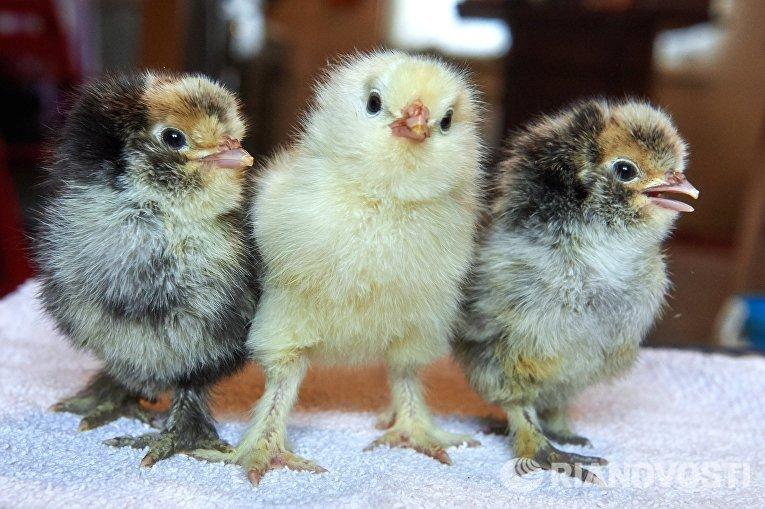 Цыплята павловской породы на ферме селекционера Вячеслава Комова в поселке Васкелово