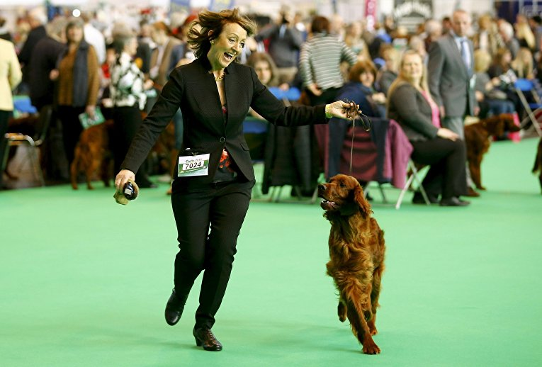 Ирландский сеттер на выставке Crufts Dog Show в Бирмингеме, Англия