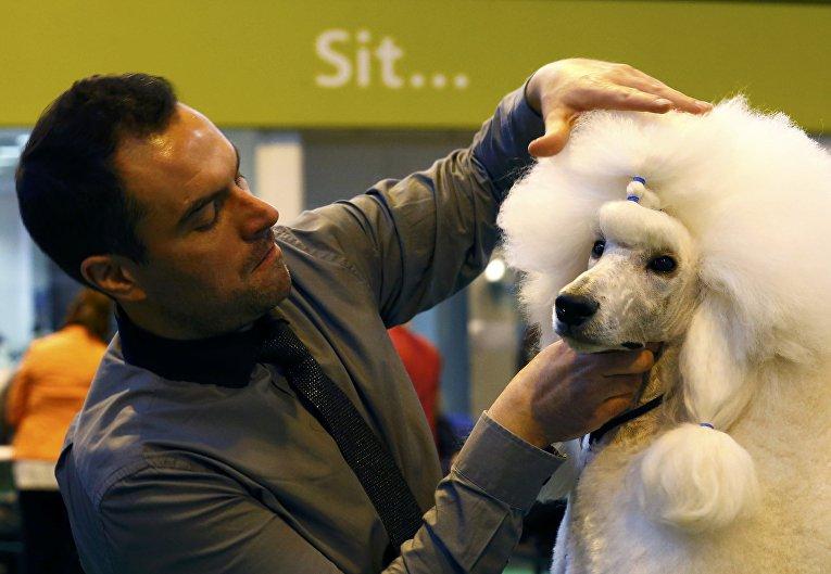 Пудель на выставке Crufts Dog Show в Бирмингеме, Англия
