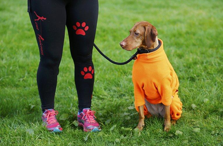 Собака породы Венгерская легавая на выставке Crufts Dog Show в Бирмингеме, Англия