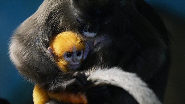 Пополнение у приматов в Новосибирском зоопарке