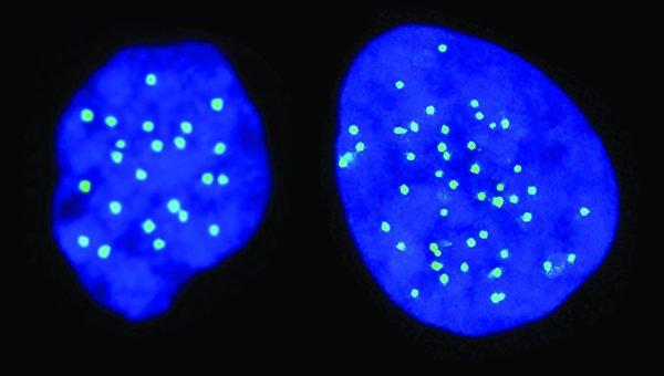 Стволовая клетка с половинчатым набором хромосом