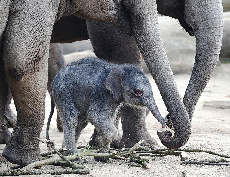Слоненок в зоопарке в Кельна, Германия. 16 марта 2016