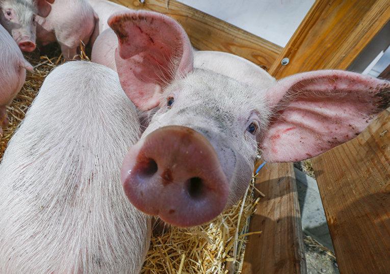 Свиньи на протестах фермеров в Брюсселе, Бельгия. 14 марта 2016