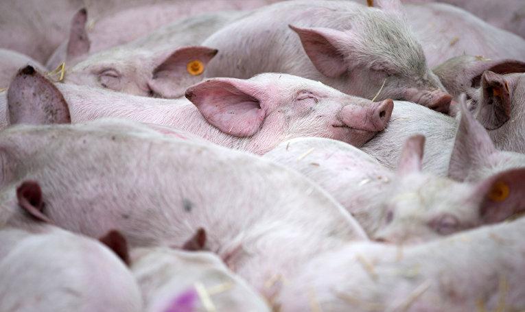 Свиньи во время демонстрации фермеров возле штаб-квартиры ЕС в Брюсселе