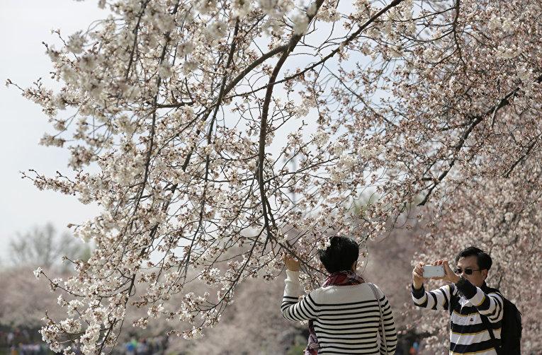 Сакура вЯпонии зацвела на 5  дней раньше доэтого  срока