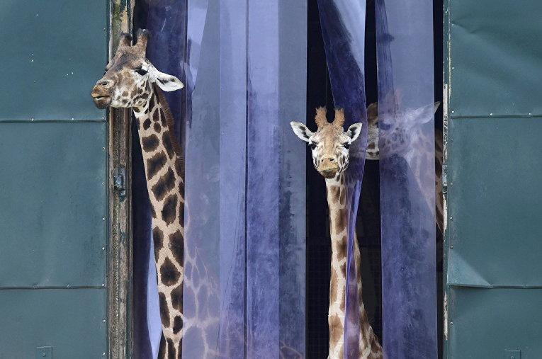Жирафы в зоопарке Марвелл, неподалеку от Винчестера, Великобритания