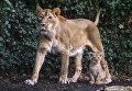 Львица по кличке Лорена со своим детенышем в зоопарке города Мехелен, Бельгия. 30 марта 2016