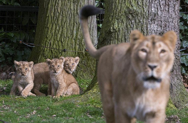 Львица по кличке Лорена со своим львятами в зоопарке города Мехелен, Бельгия. 30 марта 2016
