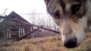 Волк в зоне отчуждения вокруг Чернобыльской АЭС, Белоруссия