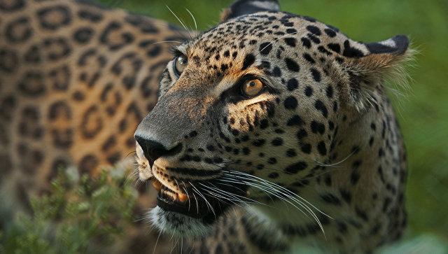 Редкие переднеазиатские леопарды выпущены в дикую природу