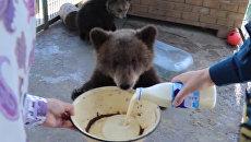 Сотрудники МЧС угостили сгущенкой спасенного ими на Алтае медвежонка Потапа