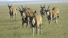 Стадо антилоп. Архив