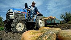Сбор урожая тыквы в личном подсобном хозяйстве в селе Чкаловское в Приморском крае