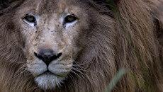 Лев. Архивное фото
