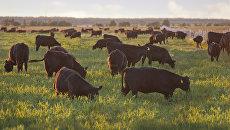 Животные на ферме компании Мираторг. Архивное фото