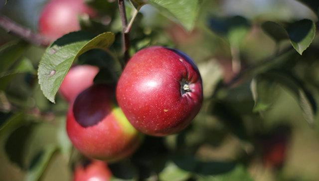 Урожай яблок. Архивное фото