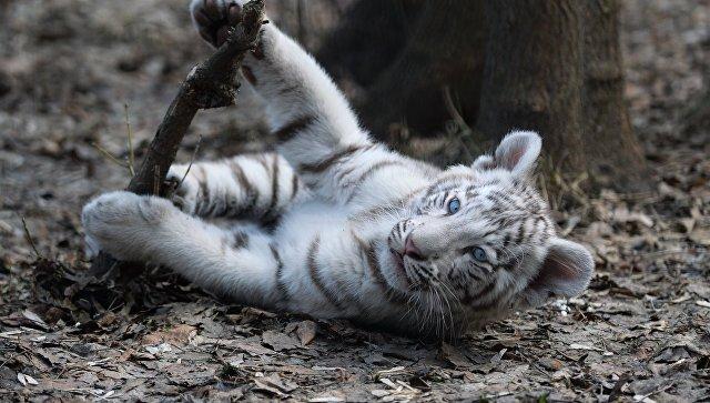 ВНовороссийске уместного жителя изъяли Бенгальского тигренка