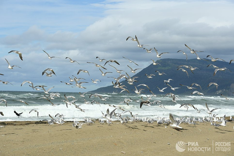Чайки на берегу Охотского моря на западе острова Кунашир Большой Курильской гряды
