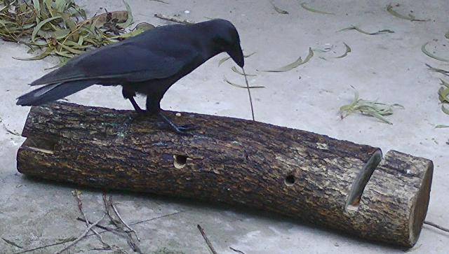 Ученые обнаружили 2-ой вид воронов, изготовляющих орудия труда