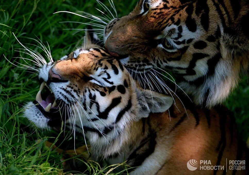 ВХабаровском крае отловили тигрицу, которая два месяца пугала граждан поселка