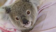 Ветеринары из австралийского зоопарка нянчились с осиротевшим детенышем коалы
