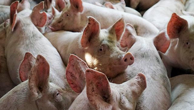 Из-за АЧС пришлось убить 119 домашних свиней; чума приближается кКурземе
