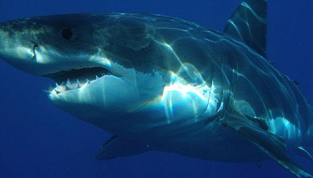 Вweb-сети интернет появилось видео согромной акулой уберега Шарм-эш-Шейха