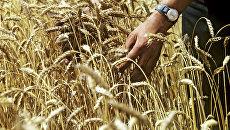Пшеница в Киевской области. Архивное фото