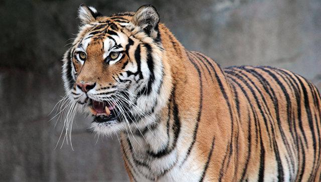 Зоопарк «Садгород»: «Тигр, перебегающий дорогу вАртеме,— видеомонтаж»