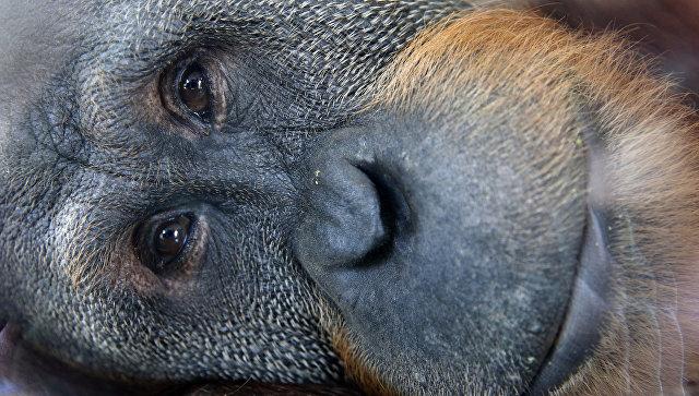 Орангутан. Архивное фото
