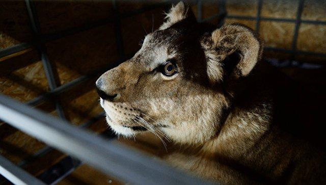 Цирк не стал комментировать ЧП с нападением львицы на ребенка на Кубани
