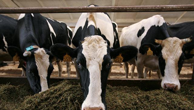 Молочная ферма. Архивное фото