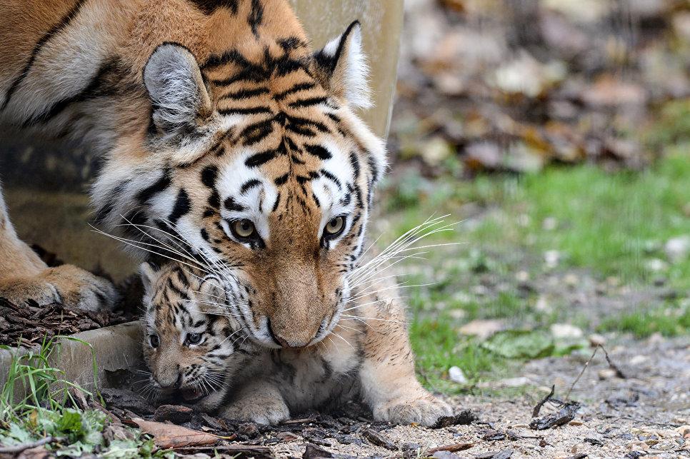 Амурская тигрица несет своего детеныша в зоопарке Безансона, Франция. 14 ноября 2016